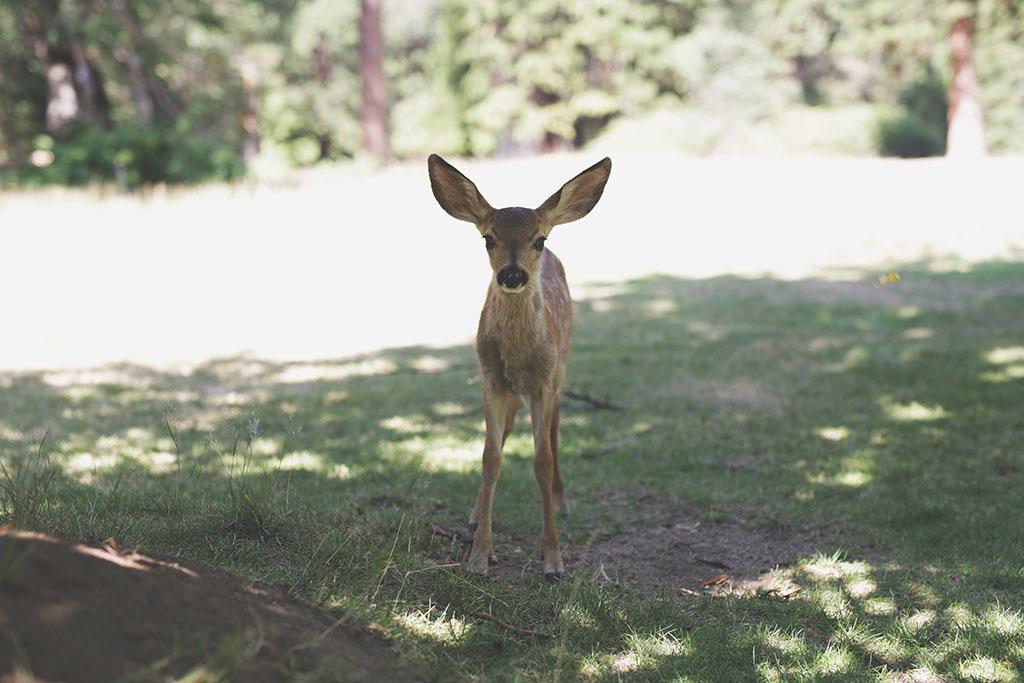 YosemiteFawn_blog
